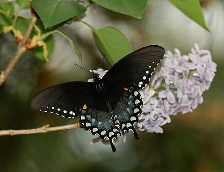 Lara Ellis - Spice Bush Swallowtail On Lilac