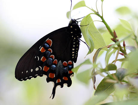 Spicebush Swallowtail Butterfly by April Wietrecki Green