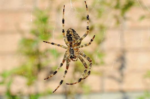 Elaine Mikkelstrup - Spider