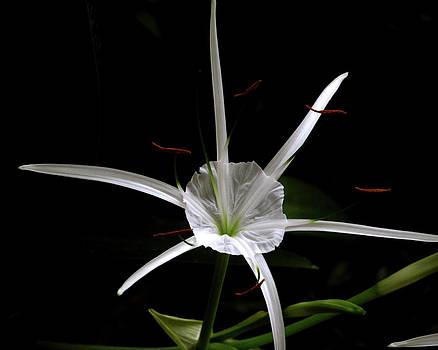 Peg Urban - Spider Lily