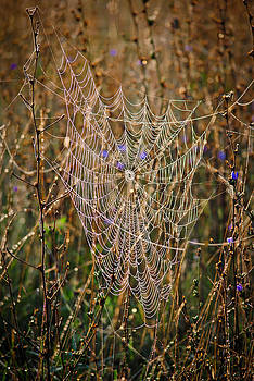 Spiders Web by Swift Family