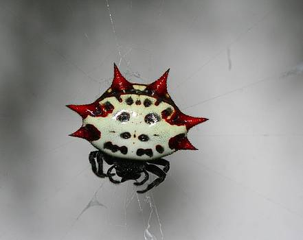 Spiny Orb Weaver by April Wietrecki Green