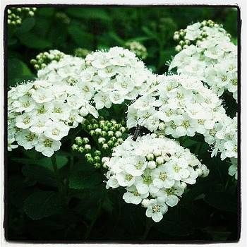 Spirea Blooms by Christy Bruna