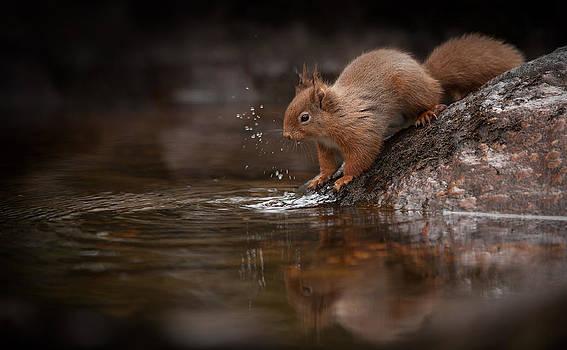 Splashing Red Squirrel by Andy Astbury