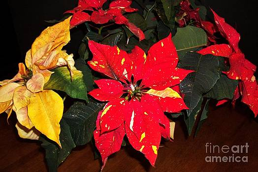 Splattered Poinsettia by Marsha Heiken