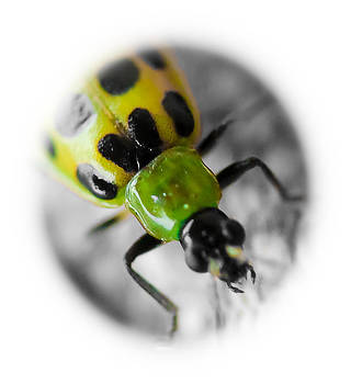Spotted Cucumber Beetle by Maureen  McDonald