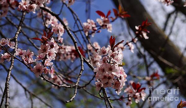 Spring Blossom by Valerie Hesslink