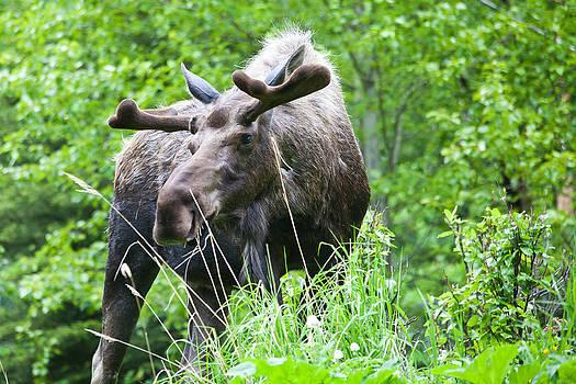 Spring Bull by Chris Heitstuman