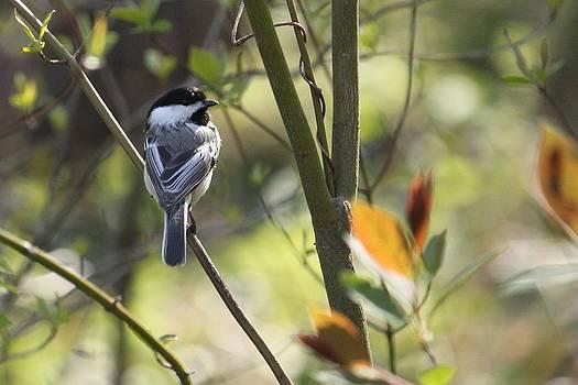 Spring Chickadee by Jody Neugebauer