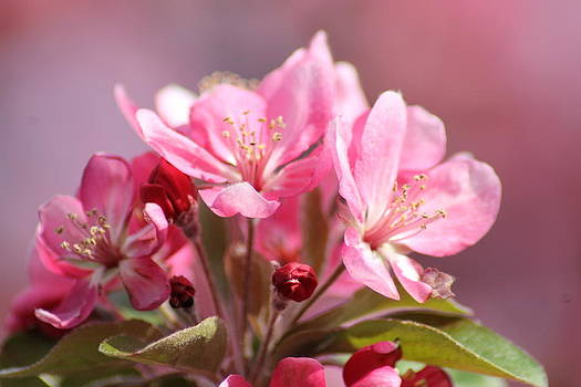 Spring crab apple blossoms by Ralph Hecht