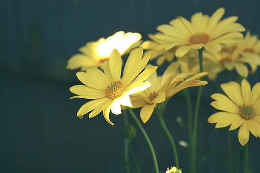 Spring Daisy's  by Cathie Tyler