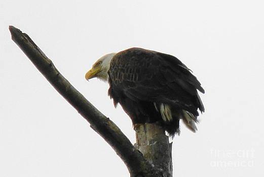 Spring Eagle IX by Daniel Henning