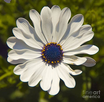 Tim Mulina - Spring Flower