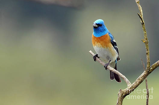 Spring Lazuli Bunting by Laura Mountainspring