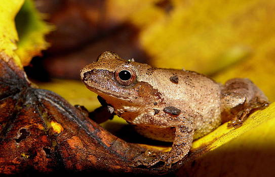 Spring Peeper on Fall Leaves by Griffin Harris