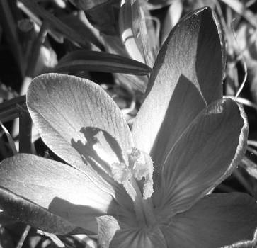 Spring Shadows in Black and White by Vanesa Knapp