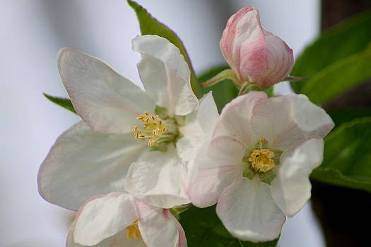 Spring time apple blossoms by Ralph Hecht