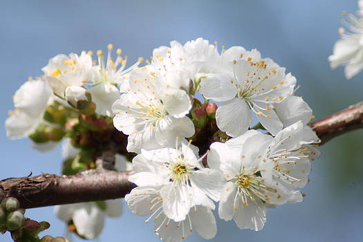 Spring time cherry blossoms by Ralph Hecht