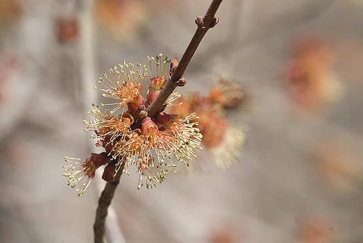 Spring Tree Bud by Lisa Missenda
