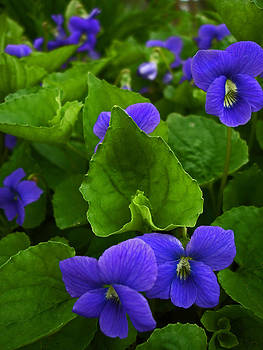 Spring Violets by Yvonne Scott
