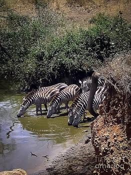 Darcy Michaelchuk - Spying on Thirsty Zebras