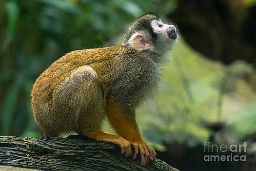 Squirrel Monkey looks up by Andrew  Michael