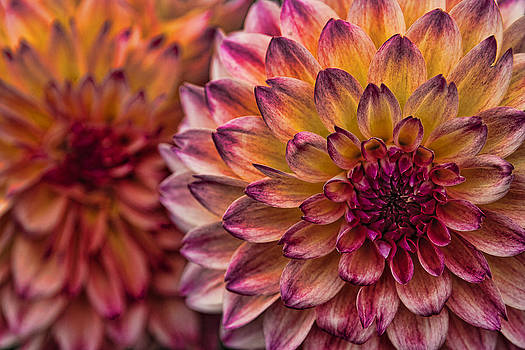 Wes and Dotty Weber - Stacked Dahlias