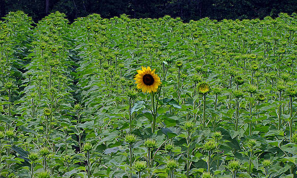 Ms Judi - Standing Tall Sunflower