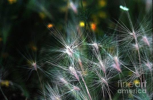 Star Grass by Joseph   Geswaldo