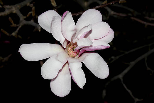 Star Magnolia Flower - I by Robert Morin