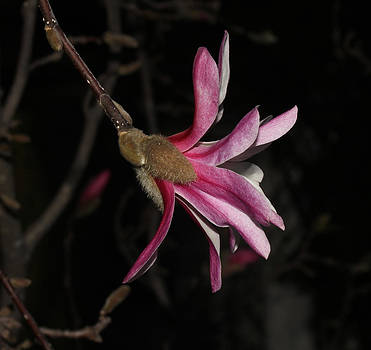 Star Magnolia Flower - II by Robert Morin