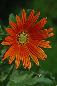 Michelle Cruz - Star Orange