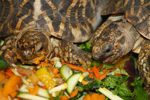 Scott Hovind - Star Tortoise