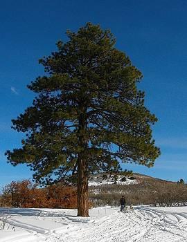 Stately Pine by FeVa  Fotos