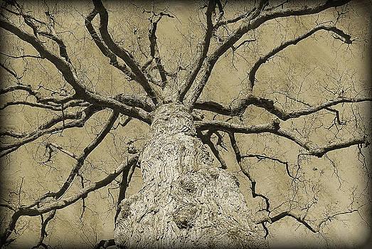 Stately Tree by David Clark