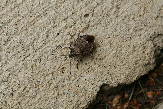 Stinkbug Catch and Release by Bonnie Boden