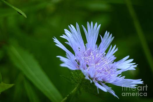 Stokesia Blues by Virginia Pakkala