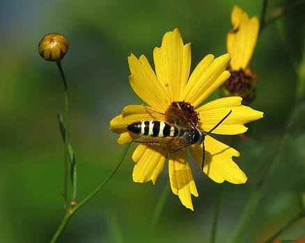 Peg Urban - Striped Bee on Wildflower
