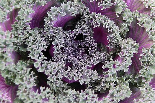 Study in Cabbage 1 by Alissa Dasta Coletta