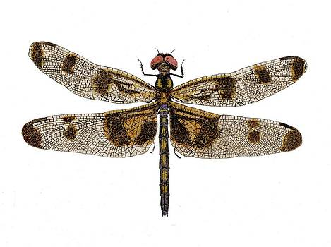 Study of a Banded Pennant Dragonfly by Thom Glace