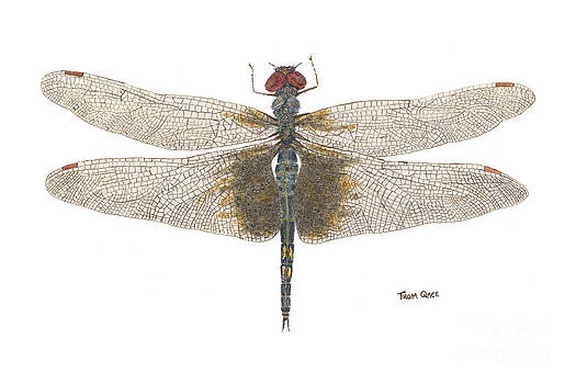 Study of a Female Black Saddlebags by Thom Glace