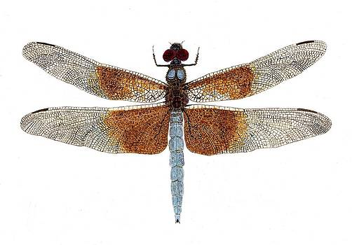 Study of a Female Widow Skimmer Dragonfly by Thom Glace