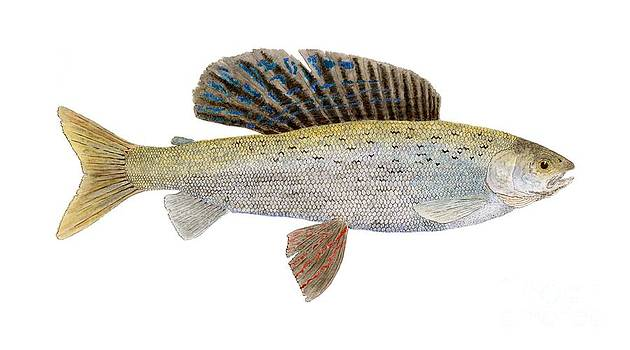 Study of an Arctic Grayling in MontanaColoring by Thom Glace