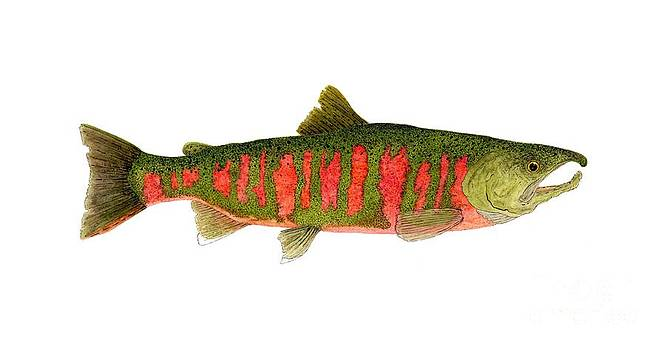 Study of the Masu or Cherry Salmon by Thom Glace