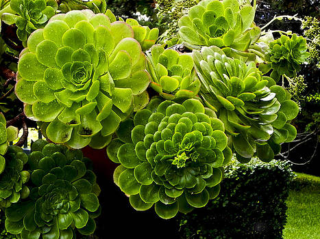 Succulent by Jesus Nicolas Castanon