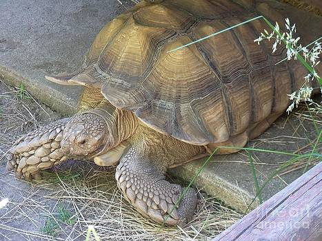 Sulcata Tortoise by Lorrie Bible