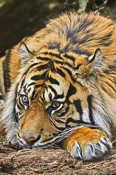 David Pringle - Sumatran Tiger