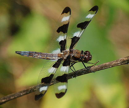 Summer Dragonfly by Fred Zilch
