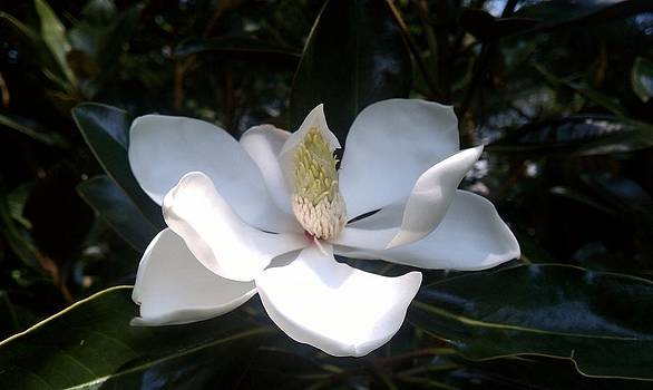 Summer Magnolia by Jeannette Brown