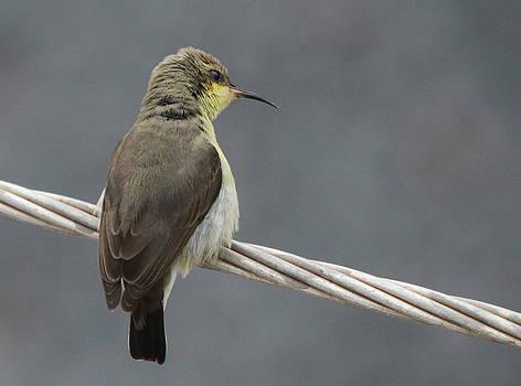 Sun Bird Female by Abhijeet Tiwari